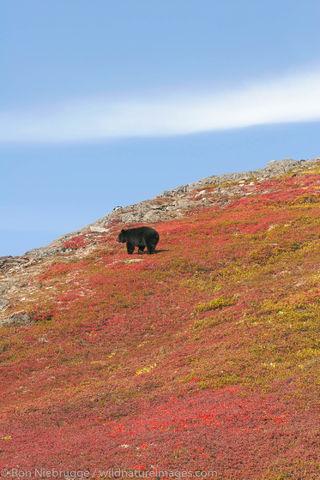 Black Bear, Harding Icefield Trail