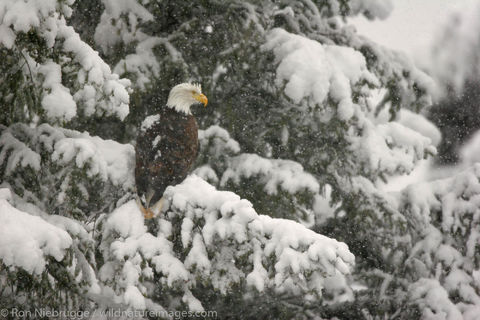 Bald eagle in the snow