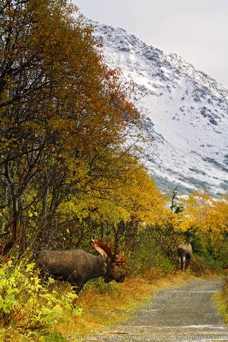 Moose Rut