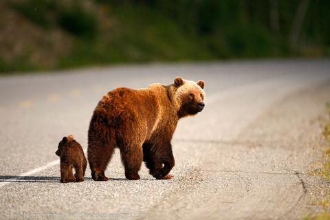 Grizzley Bear