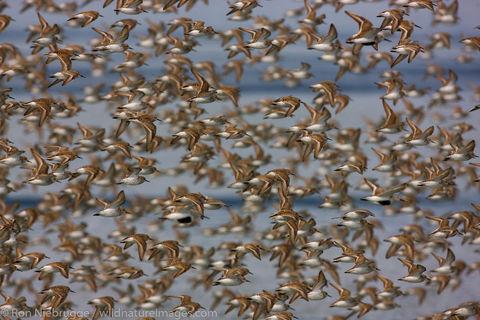 Shorebird Migration