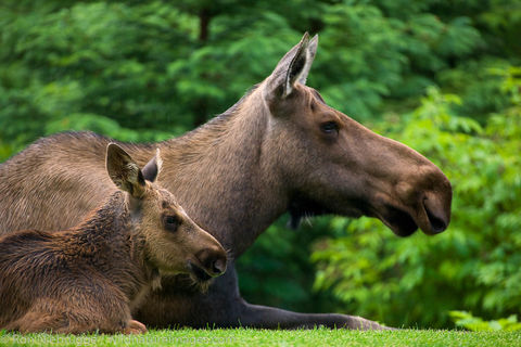 Cow and Calf Moose