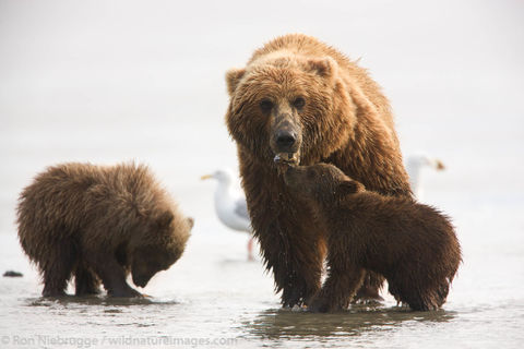 Brown Bear Digging Clams