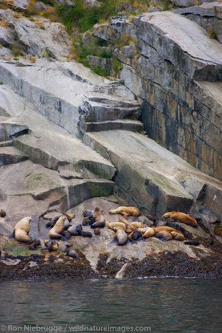 Steller Sea Lion rookery