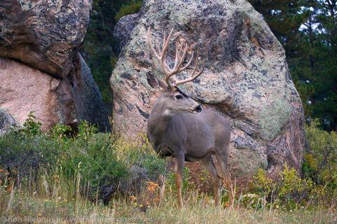 Mule Deer, Rocky Mountain National Park
