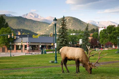 Elk in Estes Park