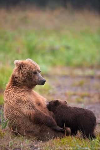 Sow nursing her cubs.