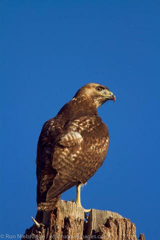 Swainson's Hawk,