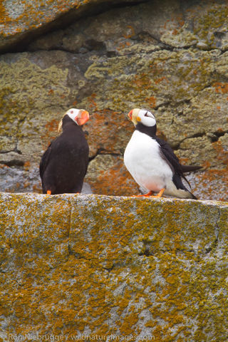 Horned andTufted Puffin