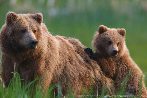 Sow with Cub