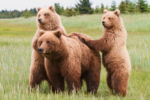 Sow with Cubs