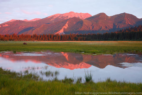 Brown bear in the meadow at sunrise