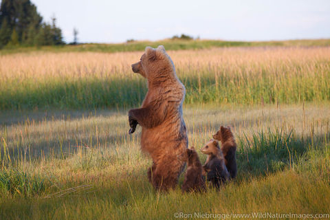 Sow with Spring Cubs