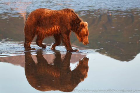 Grizzly Bear Reflection