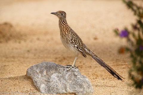 Anza Borrego Desert State Park, California., bird, photos