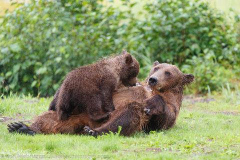 Bear Cub Nursing