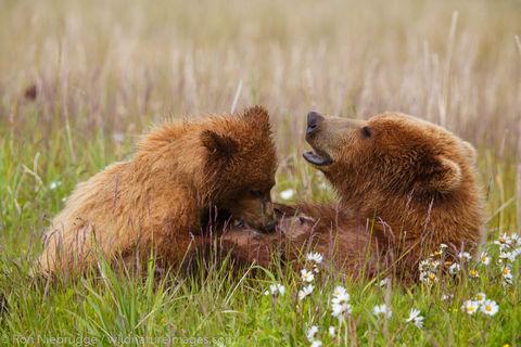 Brown Bear Cub Nursing