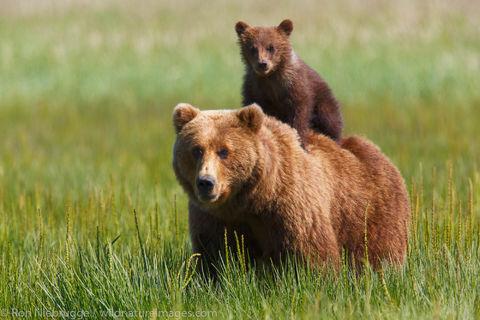 Brown Bear giving cub a ride
