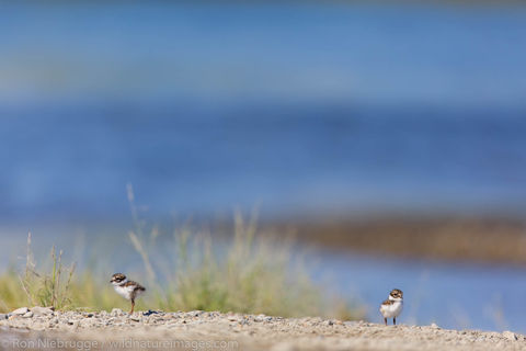 Semipalmated Plover chicks