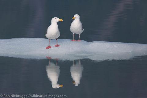 Gulls in Bear Glacier Lagoon