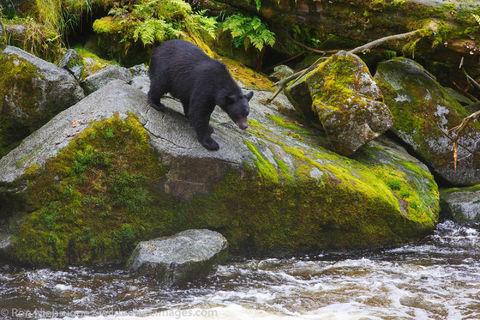 Black Bear at Anan Wildlife Observatory
