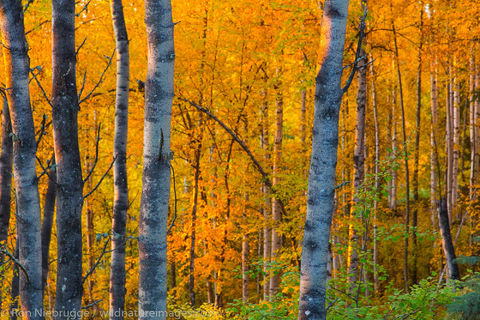 Autumn trees, Fairbanks, Alaska