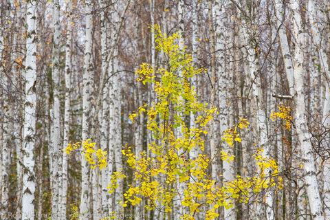 Fall colors near Fairbanks, Alaska