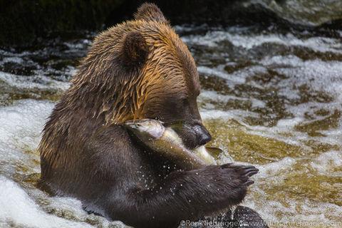 Fishing Bears