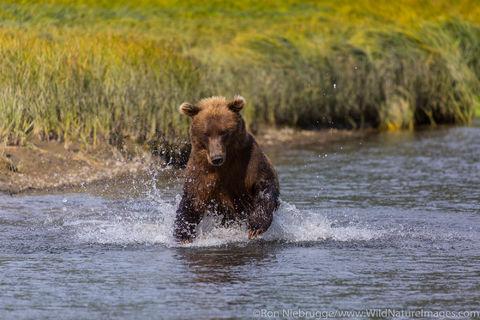 Brown Bear Charging