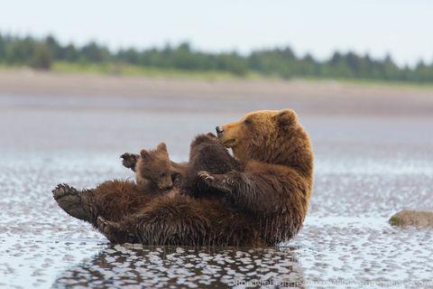 Sow nursing cubs