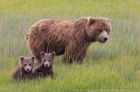 Grizzly Bear Sow with Cubs