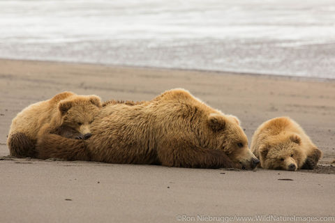 Brown Bear Sow with Cubs