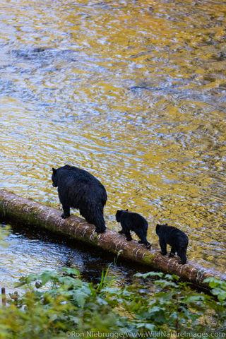 Tongass National Forest, Inside Passage, Alaska, black bear, bear, photos