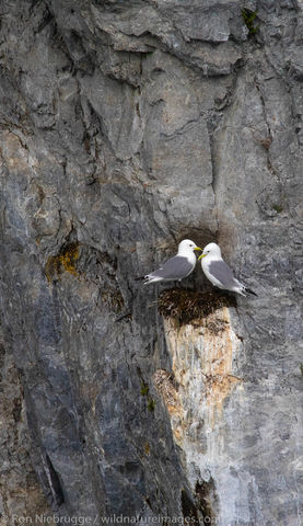 Nesting Black-legged Kittiwakes