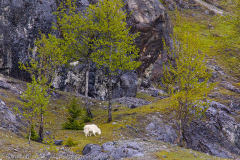Mountain Goats, Glacier Bay National Park