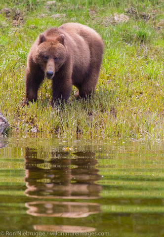Brown Bear, Tongass National Forest