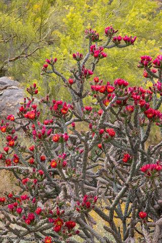 Cholla cactus blooming