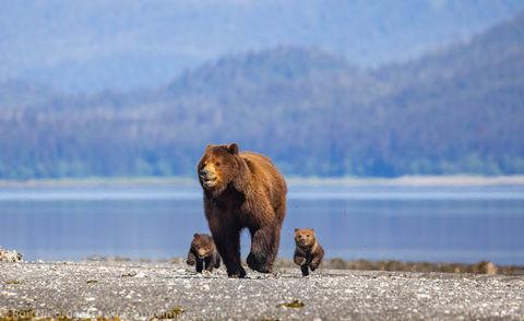 Brown Bear Family at Pack Creek