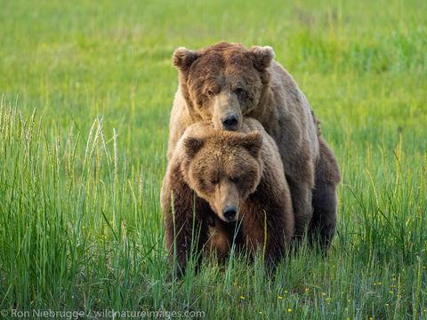 Mating Brown Bears