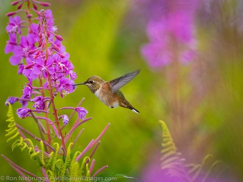 Tongass National Forest, Inside Passage, Alaska, hummingbird, bird, photos