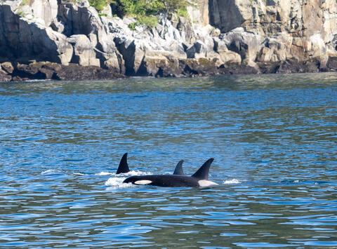 Alaska, Alaskan, Chiswell Islands, Kenai Fjords, Kenai Peninsula, National Park, fiord, fiords, killer whale, killer whales...