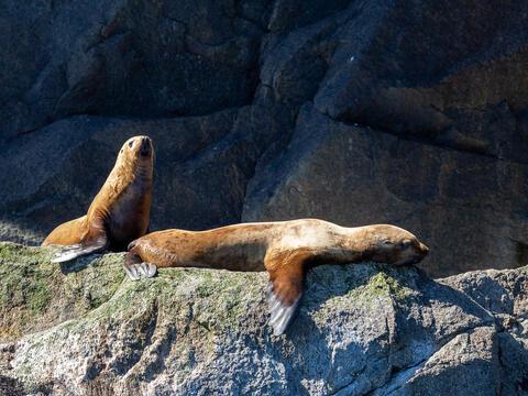 Alaska, Alaskan, Chiswell Islands, Kenai Fjords, Kenai Peninsula, National Park, Steller Sea Lion, fiord, fiords, parkland, parklands...
