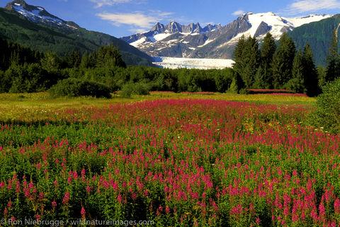 AK, Alaska, Alaskan, Americas, Brotherhood Park, Fireweed, Juneau, Mendenhall Glacier, Mendenhall Valley, North America, North...