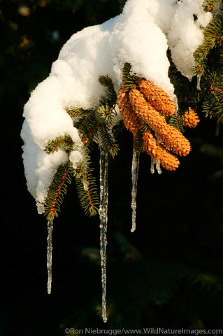 Icicles hang from tree branch