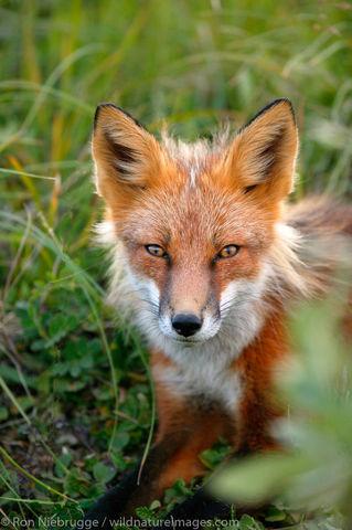 Denali National Park, Alaska, photo, picture, red fox