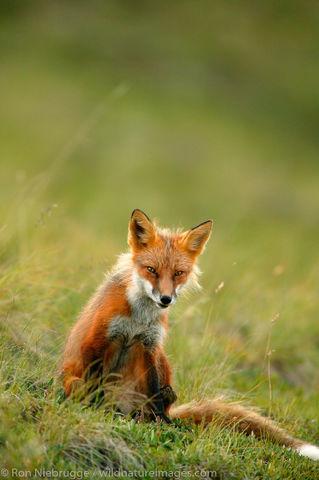 Denali National Park, Alaska, photo, picture, fox, red fox