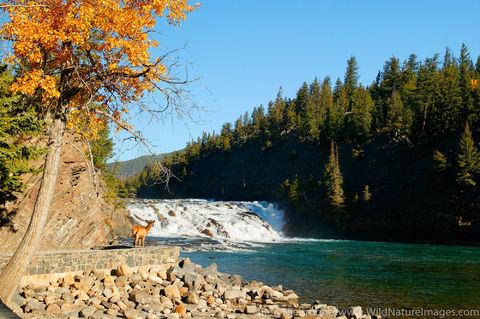Elk at Bow Falls
