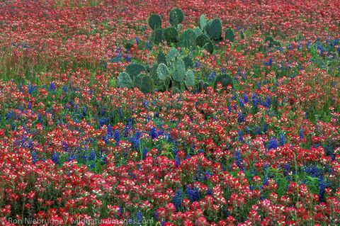 Cactus Indian Paintbrush Bluebonnet