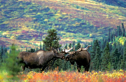AK, Ak., Alaska, Alces, Alces alces, Alces alces gigas, America, American, Americas, Autumn, Cervidae, Denali, Denali National...