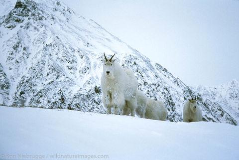 Mountain Goats Mt. Marathon
